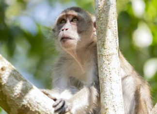 Are Coconut Products Ethical? Thai Monkey Labor Exposed