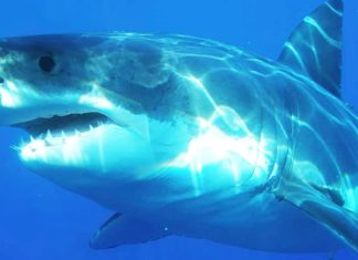 Taiwan Just Banned Fishing Great White Sharks