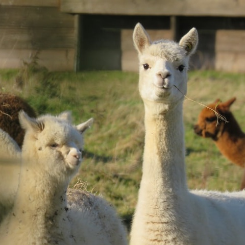 Valentino Becomes First Luxury Brand to Ban Alpaca Fleece
