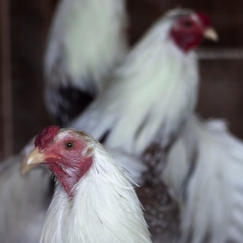 KFC Admits Its Chickens Suffer From Painful Inflammation