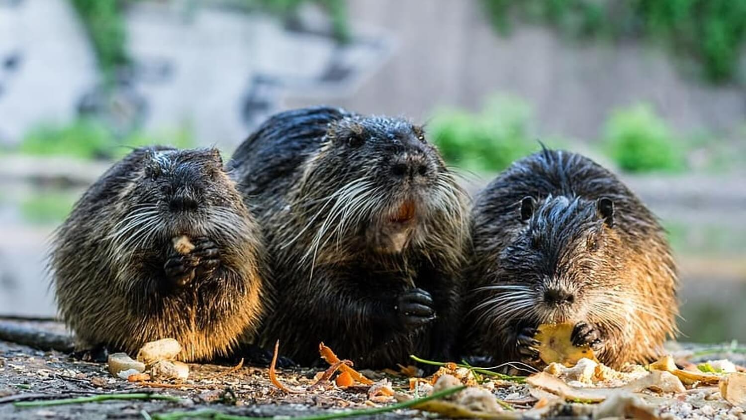 Beaver Families Win 'Right to Remain' in Devon Courts