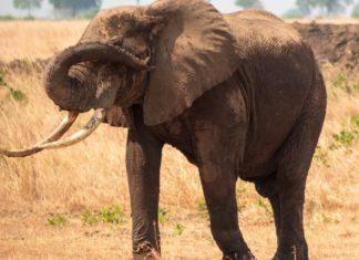 Singapore Crushes Elephant Ivory Trade With Massive Seizure
