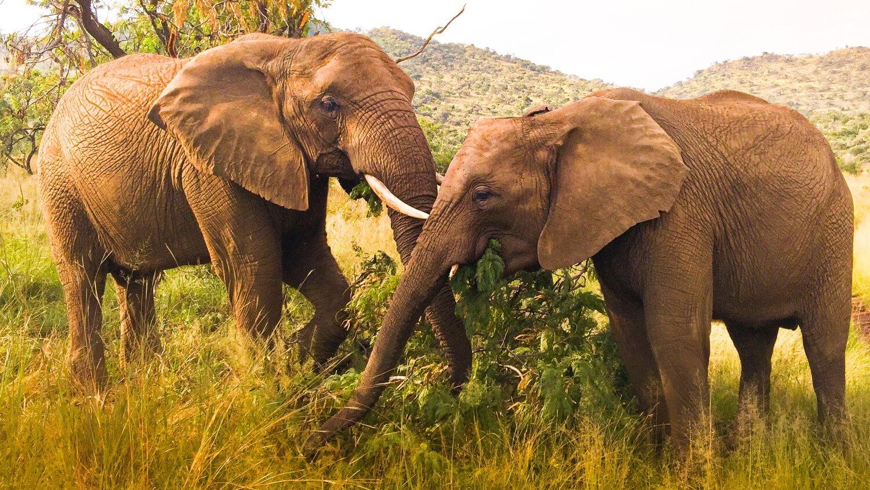 Elephant Poaching Falls By 91% in 2 Years in Kenya