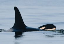 Orca That Carried Her Dead Calf for 17 Days Gives Birth to Healthy Baby