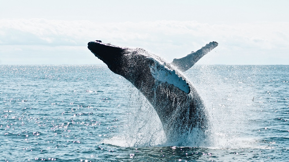 New Technology Can Save the Whales from Ship Collisions