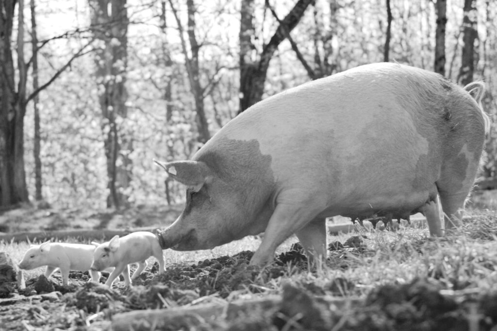 'Gunda' Film About Pig Sentience Is Moving the World to Tears