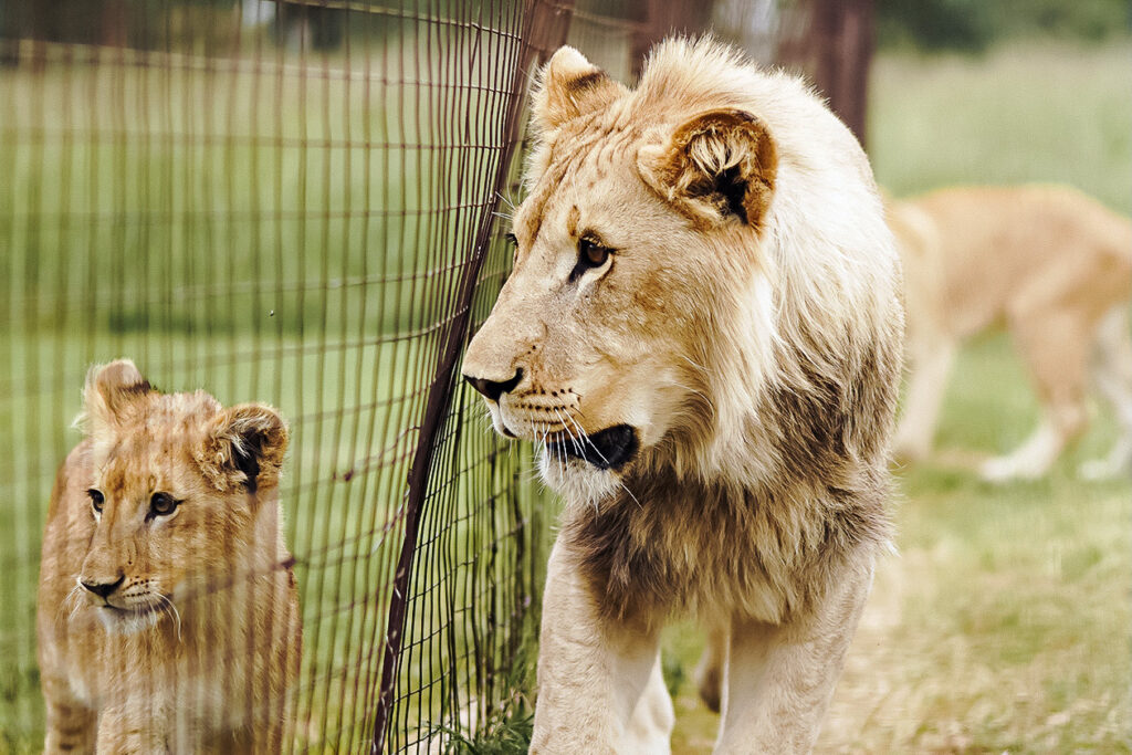 Will South Africa's Captive Lion Breeding Ban Disrupt Trophy Hunting?