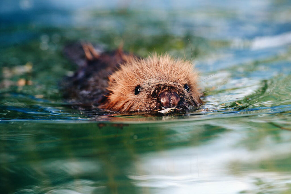 Photo of three month old beaver Momo swimming at Klein Offenseth-Sparrieshoop wild animal facility.