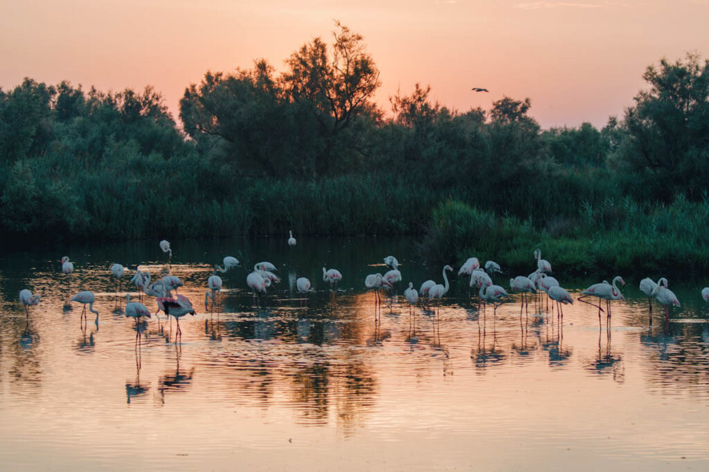 Photo of greater flamingoes in water at sunrise in a southern France UNESCO designated biosphere reserve.