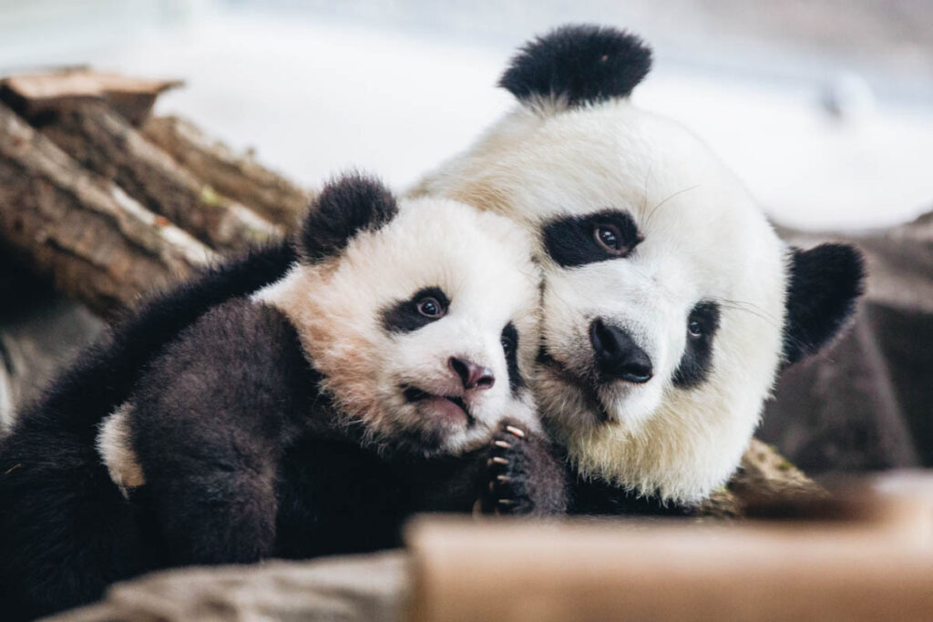 Photo of one of Zoo Berlin's young panda cubs with his mother, taken in 2020. As of this month, giant pandas are no longer endangered in the wild.