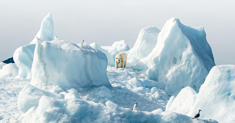 A polar bear walking through snow and blocks of ice.
