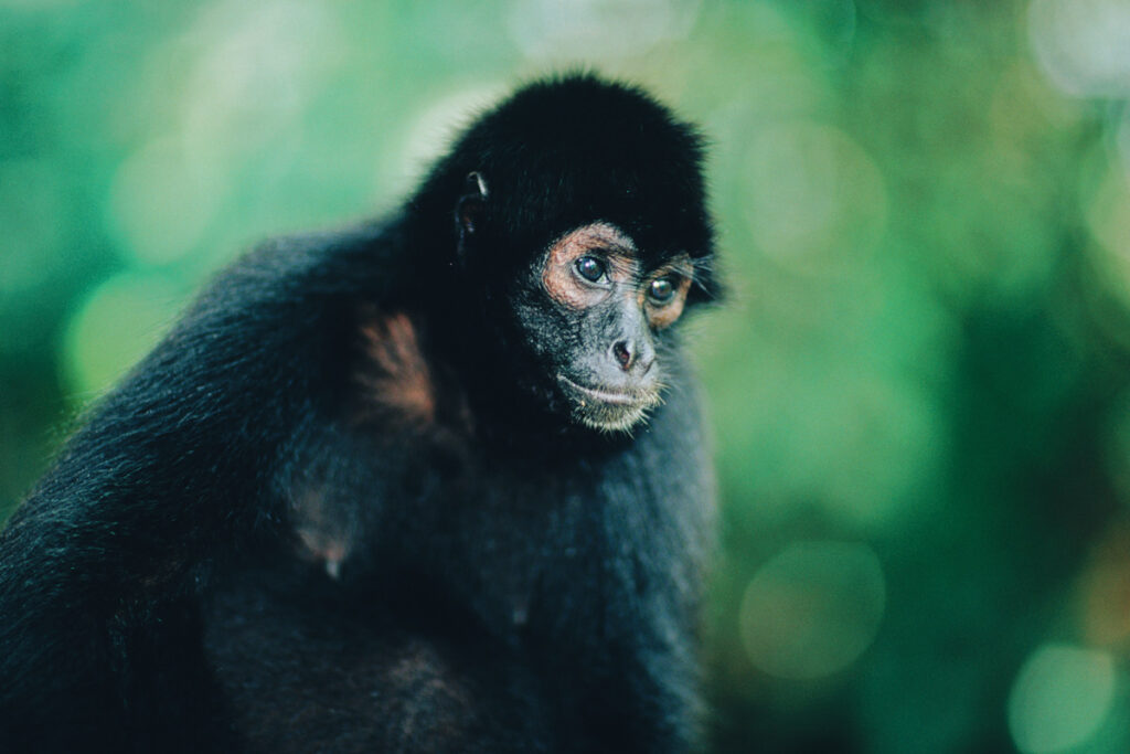 Photo of a spider monkey.