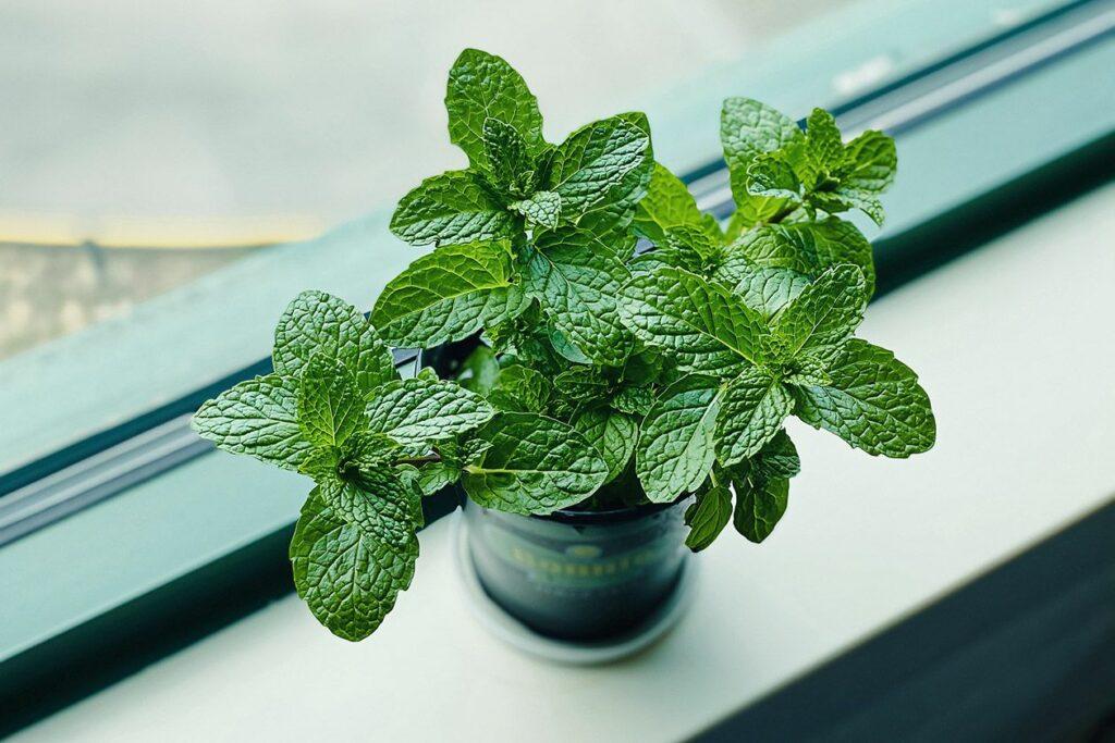Mint on a windowsill