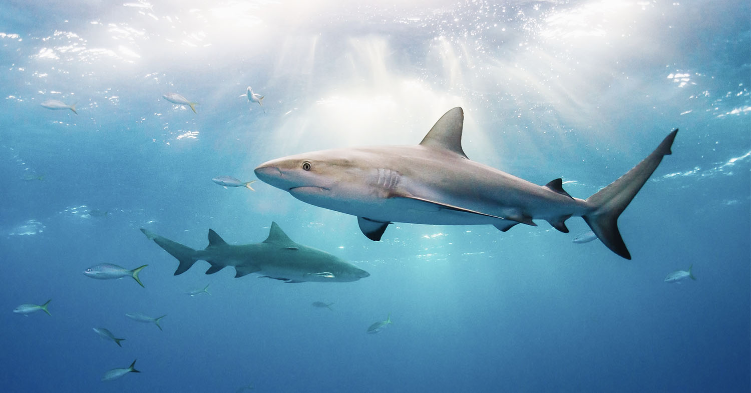 Photo shows sharks swimming in the ocean. The UK is set to become the first country with a truly comprehensive shark fin ban.