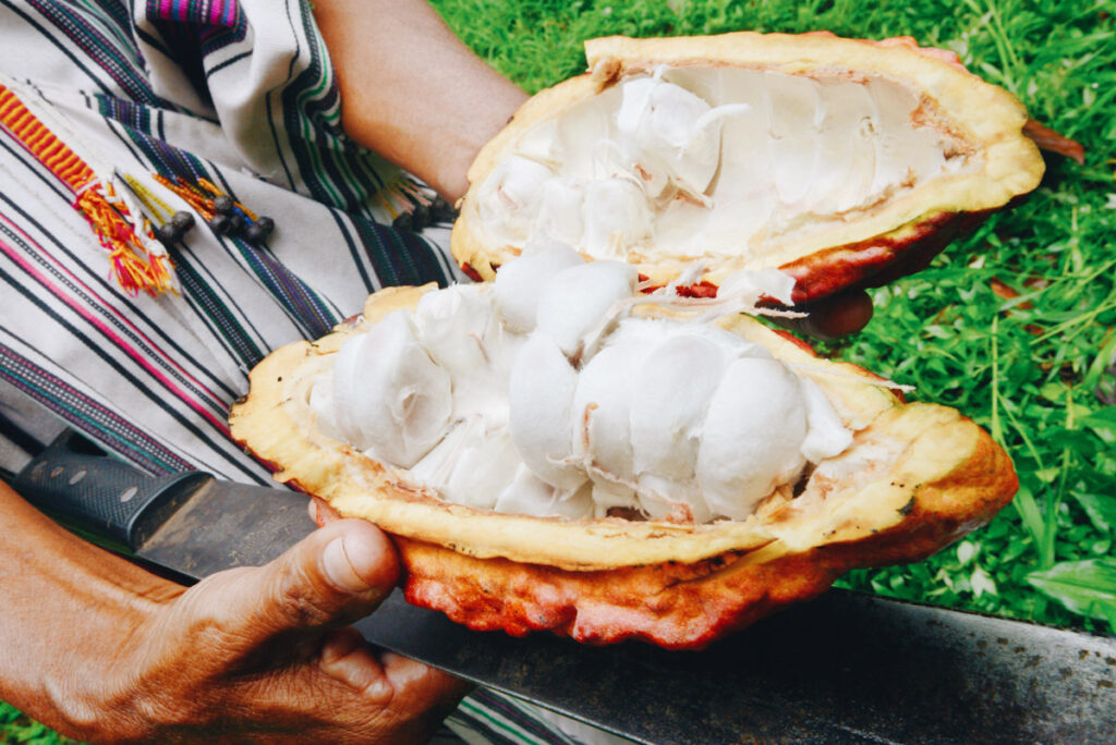 What are superfoods? Photo features omas Bardales from the Amazon Ashaninka tribe showing organic cocoa fruit at his family plantation near Quempiri.