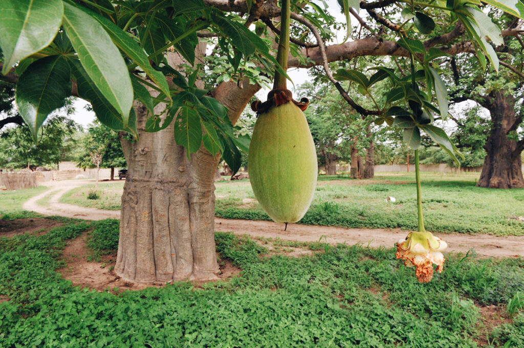 Photo shows fruit from a Boabab tree, recently approved for European import. Senegal's villagers have known about the fruit's health benefits for generations.