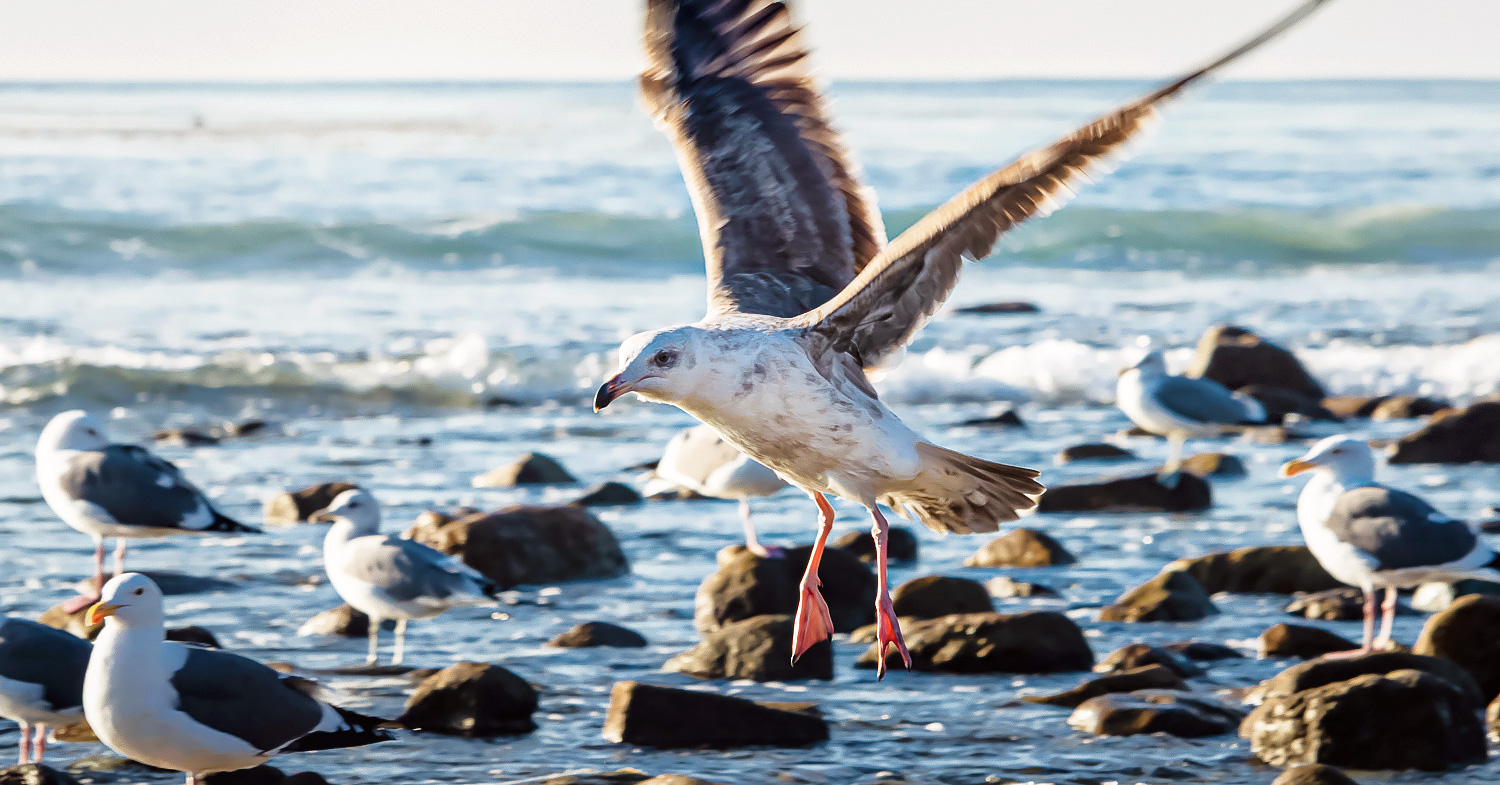 Photo shows sea birds landing on rocks along the shoreline. The Huntington Beach oil spill is affecting wildlife and humans alike.
