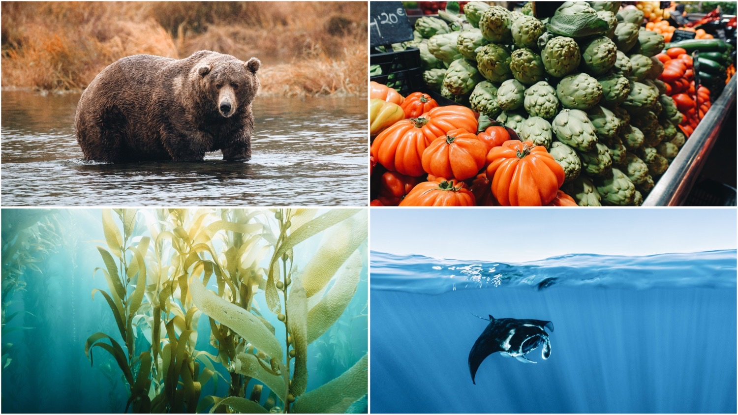 Collage of photos depicts an Alaskan brown bear (top left), a display of fresh vegetables (top right), kelp (bottom left), and a swimming manta ray (bottom right). Fat Bear Week isn't the only good climate news from the last month.
