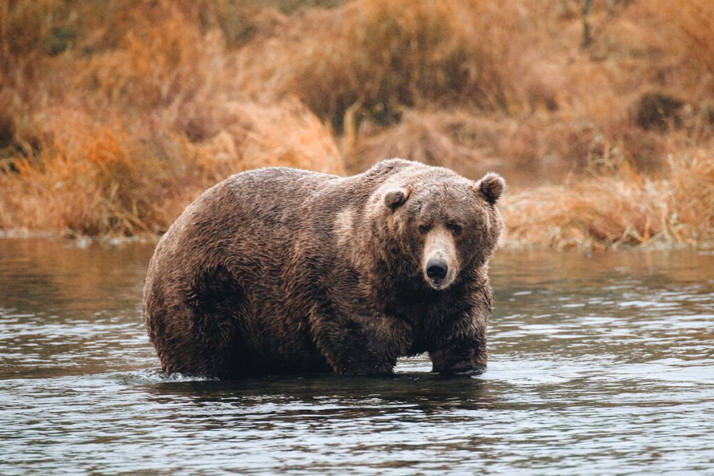 Photo shows an Alaskan brown bear fishing for salmon. Fat Bear Week highlights the health of the Katmai region's population and raises awareness of bears in general.