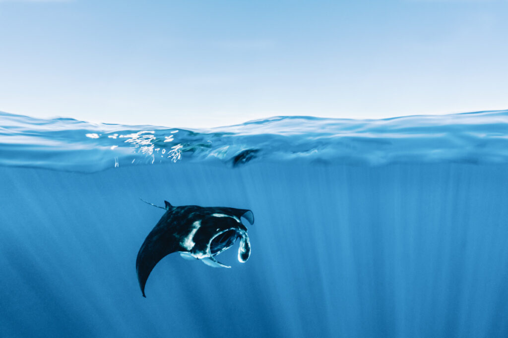 Photo shows a swimming manta ray in the Indian Ocean.