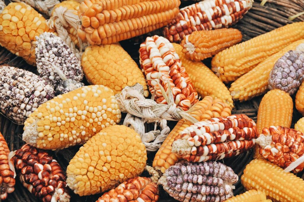 Image shows various types of corn on the cob.