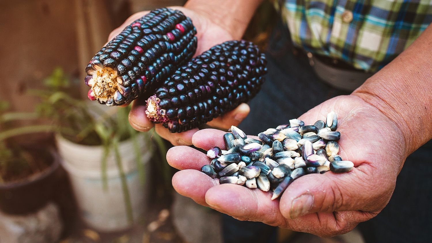 Photo of a person holding blue corn.